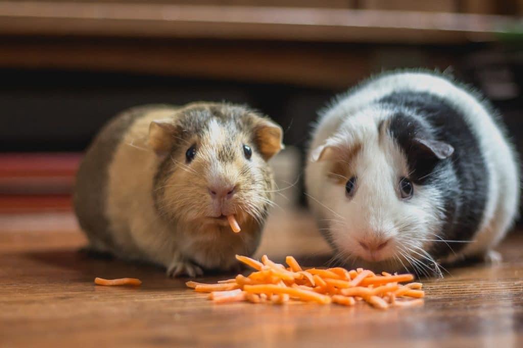 Achtung, klein & wertvoll! Nager wie Meerschweinchen, Hamster und Kaninchen verirren sich auf der Suche nach Futter - so sie denn frei herumlaufen dürfen - gern unter Küchenmobiliar. Abhilfe schaffen feste Sockelleisten. (Foto: Bonnie Kittle)